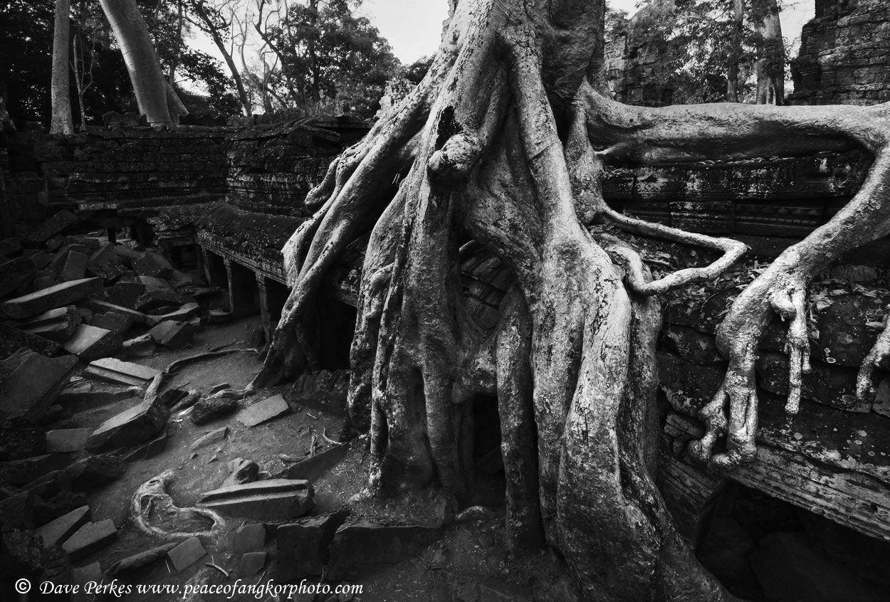 Ta-Prohm-tree